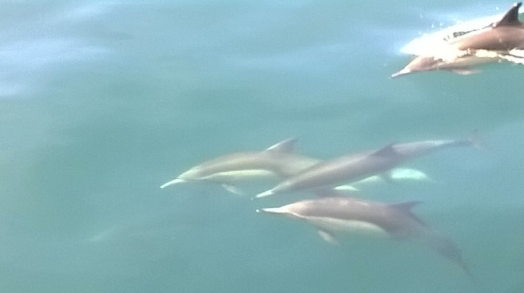 Looks like common dolphin because of the two tones. Cute calves! Photo by M.C.